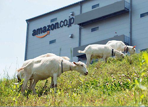 エコ除草に励むヤギ