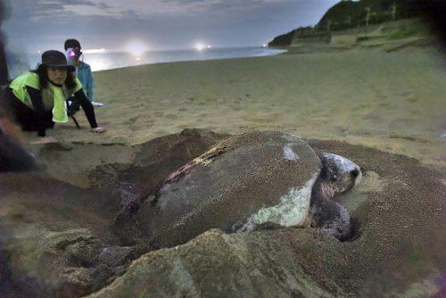 アオウミガメの産卵の様子を調査