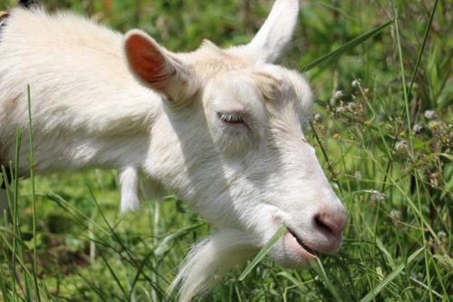 一心不乱に草を食べる姿は、「癒し」として社員にも好評