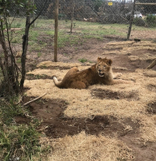 アフリカへ送り届けられた子ライオン