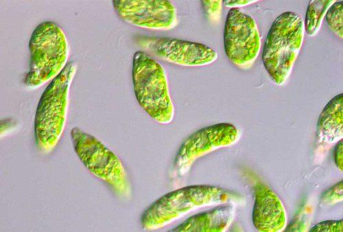 バイオ燃料の原料となるミドリムシ